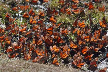 papillonsmonarc.jpg